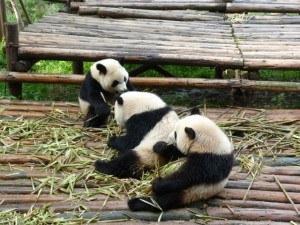 Chengdu, pandas