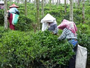 Puli, Nantou county, cueillette de thé