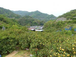 Osaki-shimo jima .île des citronniers et des orangers. 1